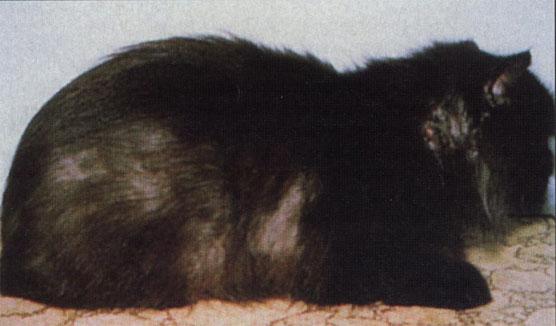 разновидности лишая у кошек. сколько стоит вылечить шишку на дисне.