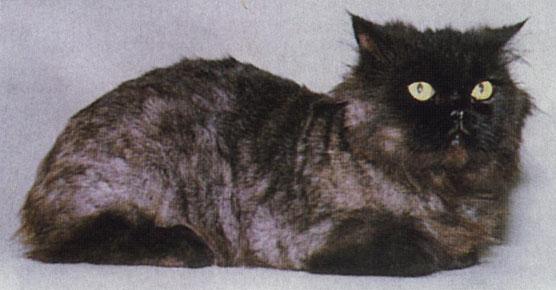 Животное выздоровело.  Стрижка кошки, заболевшей стригущим лишаем.