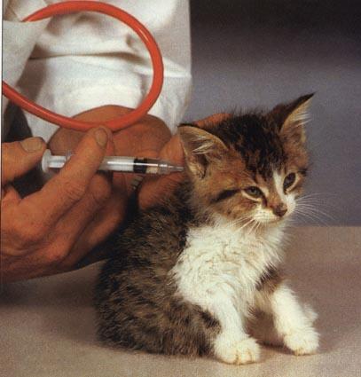 Модно ли делать прививки кошке поздк 12 недель